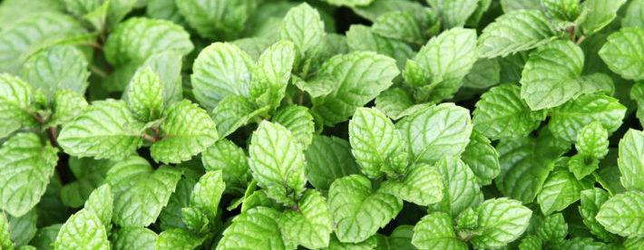 menthol leafs